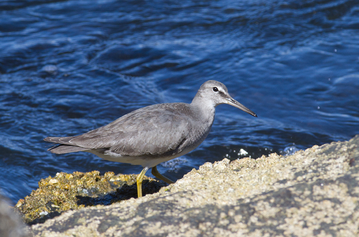 A Wandering Tattler at Newport Harbor, California (10/6/2011). Photo by Bill Hubick.
