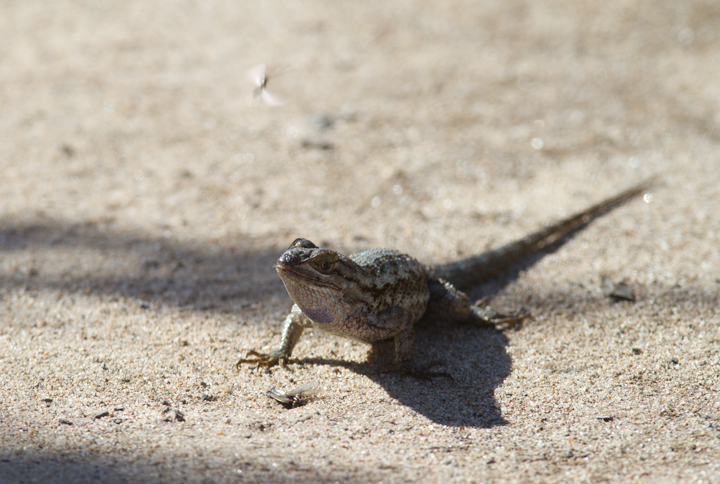 A Western Fence Lizard feasts on emerging flying insects near San Diego, California (10/6/2011). Photo by Bill Hubick.