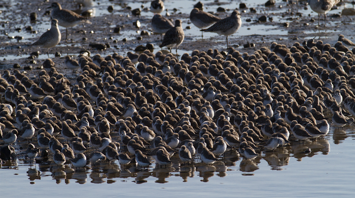 Part of a major gathering of Western Sandpipers at Bolsa Chica, California (10/6/2011). Photo by Bill Hubick.