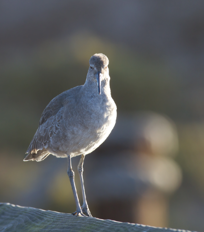 Western Willets at Bolsa Chica, California (10/6/2011). Photo by Bill Hubick.