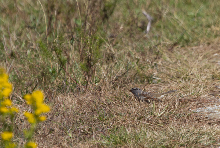 "An adult ""Gambel's"" White-crowned Sparrow at Assateague SP, Maryland (10/22/2011). Photo by Bill Hubick."