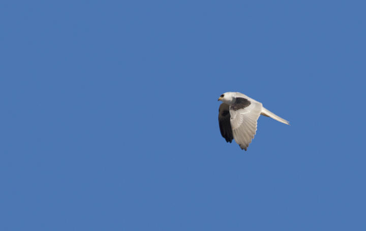 A White-tailed Kite soars over the Tijuana River mouth, California (10/7/2011). Photo by Bill Hubick.
