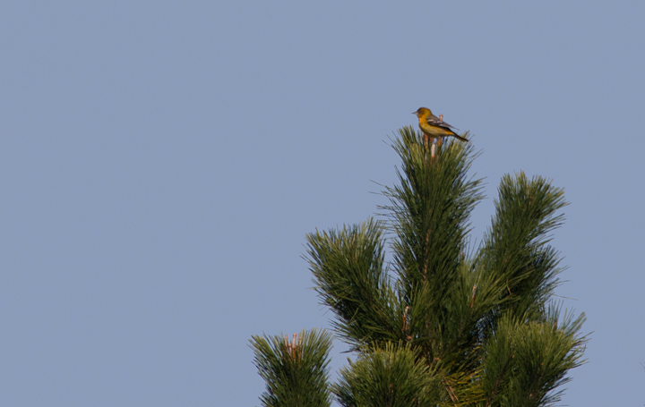 A Baltimore Oriole at Assateague State Park, spotted by Mikey while chasing the Great Crested Flycatcher (11/12/2011). Photo by Bill Hubick.
