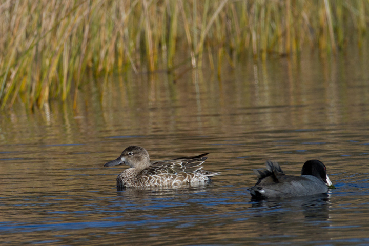 A lingering Blue-winged Teal at the Rum Pointe Golf Course, Worcester Co., Maryland (11/11/2011). Photo by Bill Hubick.