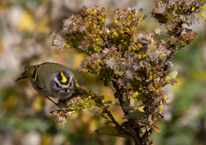 Golden-crowned Kinglets were generally uncommon across Worcester Co. this year, but those we found on the island were primarily feeding in the Seaside Goldenrod in the dunes. There was a bathhouse that was lined on both sides with goldenrod, and if you spooked them from one side, they would fly through a grate and through the crawlspace under the raised building to the other side. (Assateague, 11/12/2011). Photo by Bill Hubick.