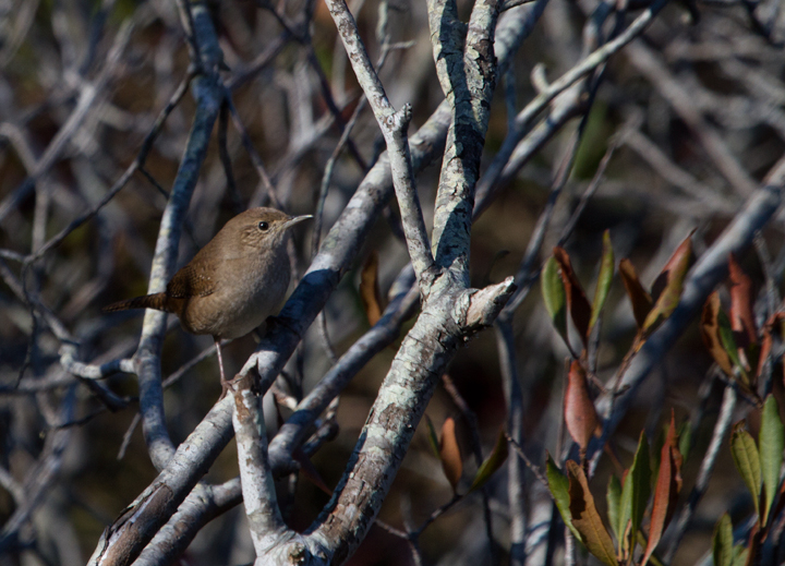 House Wrens are an uncommon wintering species on the coast, but we had better than average numbers this year. This one was photographed in the scrub at the southern end of Assateague SP (11/12/2011). Photo by Bill Hubick.