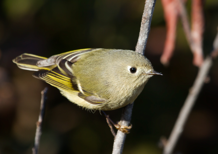 Ruby-crowned Kinglets are abundant in migration but often rather thin during the Rarity Roundup in Maryland (11/12/2011). Photo by Bill Hubick.