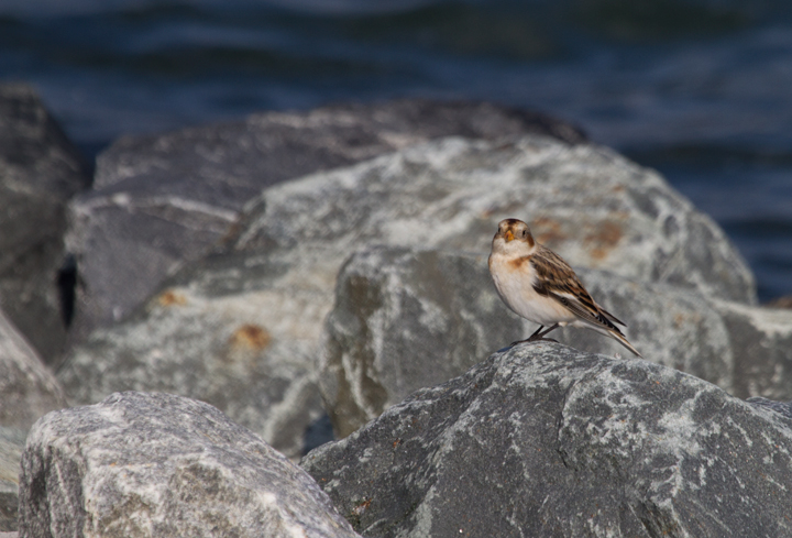 A Snow Bunting at the Assateague Island Causeway (11/11/2011). Photo by Bill Hubick.