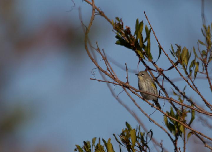 Maryland Biodiversity Project Audubon S Warbler