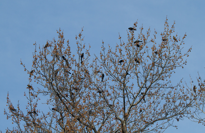 Red-winged Blackbirds feeding in the Sweet Gums at Fort Smallwood, Maryland (11/24/2011). Photo by Bill Hubick.
