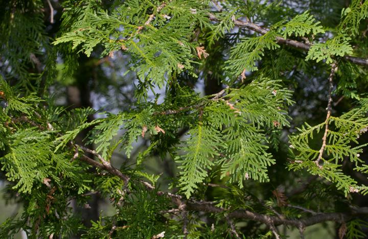 Northern White Cedar ~ Bill hubick photography maine acre heath