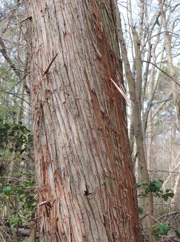 Maryland biodiversity project atlantic white cedar