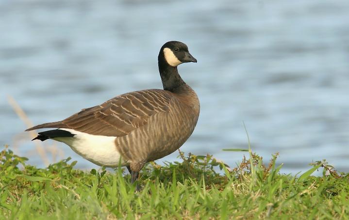 Aleutian Canada Goose Identification