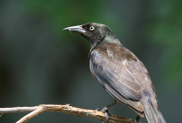 common grackle male. Below: A female Common Grackle