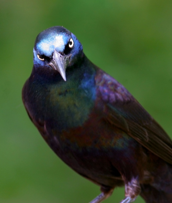 common grackle male. Below: A Common Grackle in my