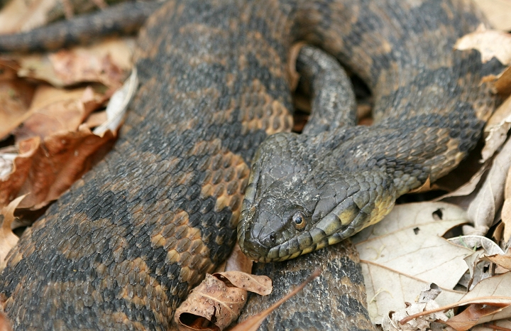 Cottonmouth water mocasin - Page 3 - The Hull Truth ...