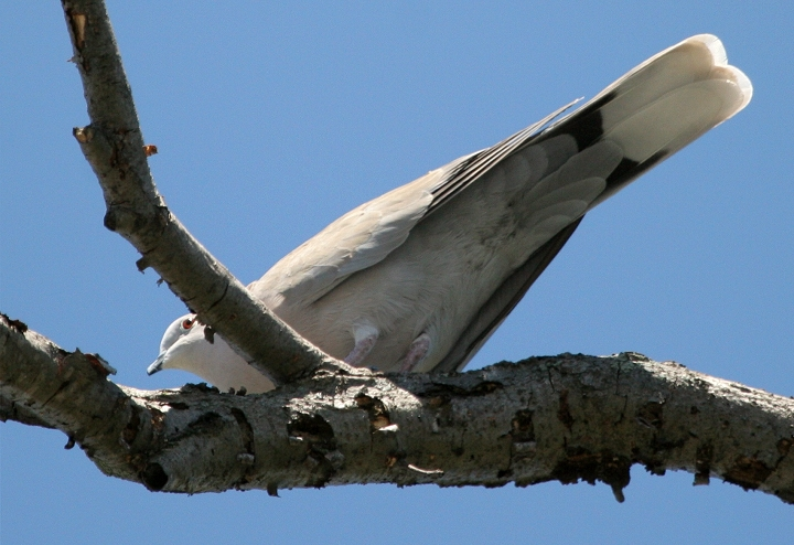 African collared dove vs eurasian collared dove - photo#15
