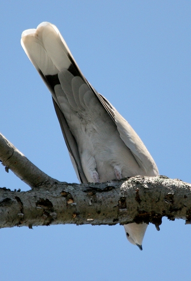 African collared dove vs eurasian collared dove - photo#24