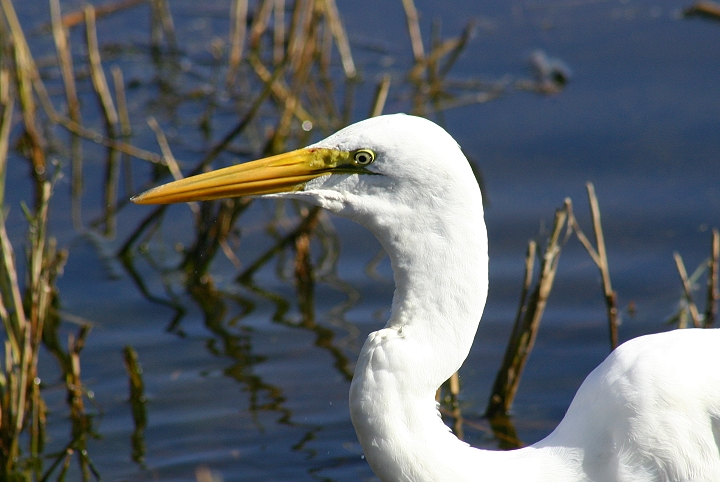 great egret - Wiktionary