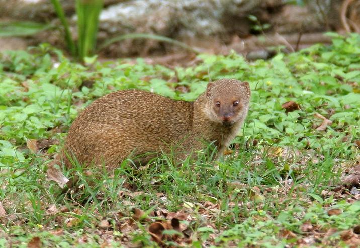 Rikki Tikki Tavi Part III A Good Picture Of Cute Indian Mongoose