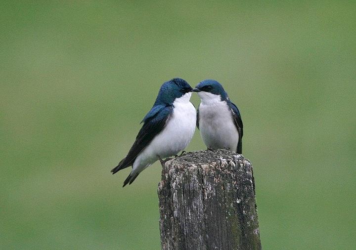 Tree Swallow Photo 55