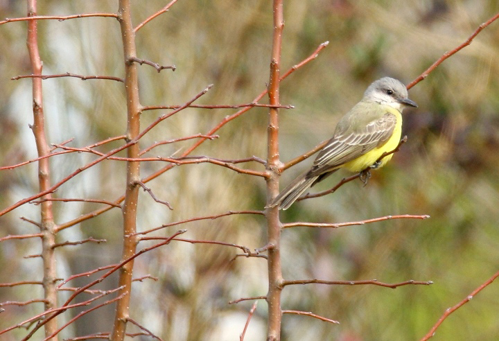 Maryland's first Tropical Kingbird, photographed in northern Somerset Co., Maryland (12/31/2006). This Central and South American species is found regularly in southern Texas and southern Arizona, but has rarely been seen on the East Coast. Photo by Bill Hubick.