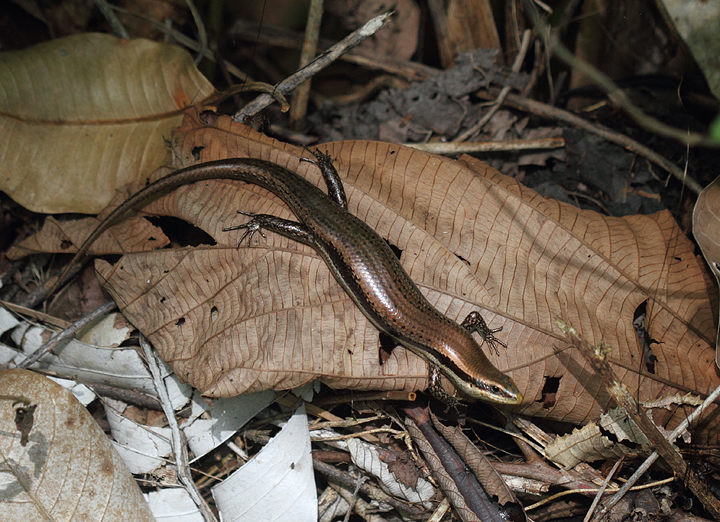 A large skink, presumed Bronze-backed Climbing Skink (<em>Mabuya unimarginata</em>), in the leaf litter (central Panama, July 2010). Photo by Bill Hubick.
