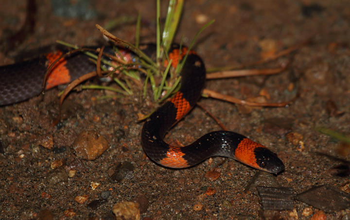 A False Coral Snake (<em>Oxyrhopus petola</em>) found at night in eastern Panama. The large eyes are the biggest clue that we are dealing with a non-venomous species, though not catching that in the field made this an exciting encounter. Photo by Bill Hubick.