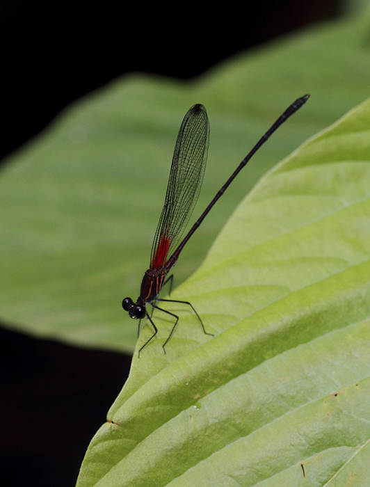 A rubyspot species in central Panama (July 2010). Photo by Bill Hubick.