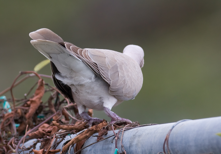 African collared dove vs eurasian collared dove - photo#3