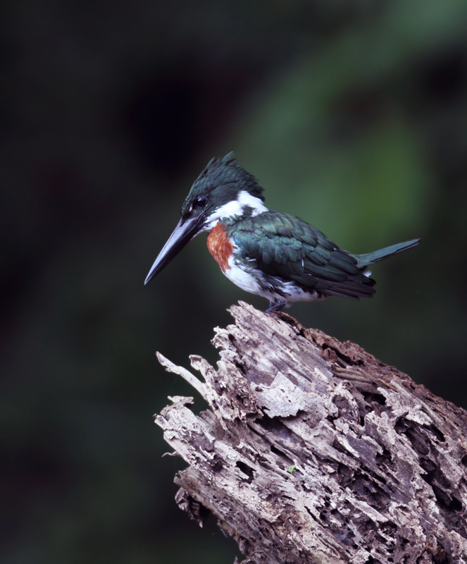 An Amazon Kingfisher near Gamboa, Panama (July 2010). Photo by Bill Hubick.