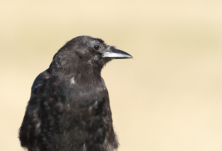 An American Crow in the early morning sun at Ecola State Park, Oregon (9/3/2010). Photo by Bill Hubick.