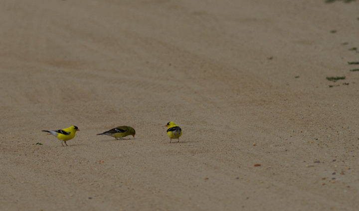 American Goldfinches foraging in Anne Arundel Co., Maryland (6/25/2011). Photo by Bill Hubick.