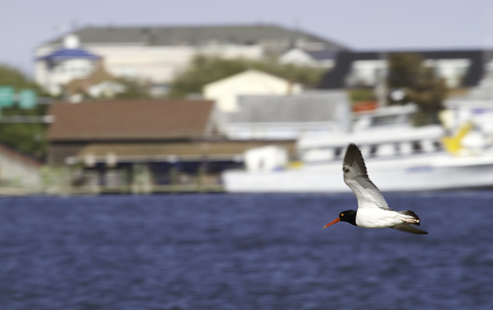 An American Oystercatcher in flight at Shantytown, Ocean City, Maryland (5/11/2011). Photo by Bill Hubick.