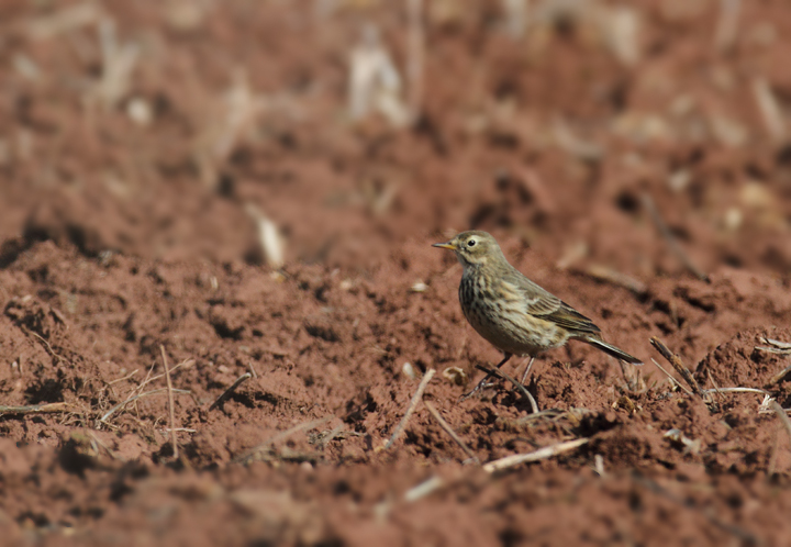 An American Pipit foraging in a field in Frederick Co., Maryland (11/6/2010). Photo by Bill Hubick.