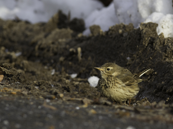 An American Pipit feeds at the roadside on a snowy day in Prince George's Co., Maryland (1/29/2011). Photo by Bill Hubick.