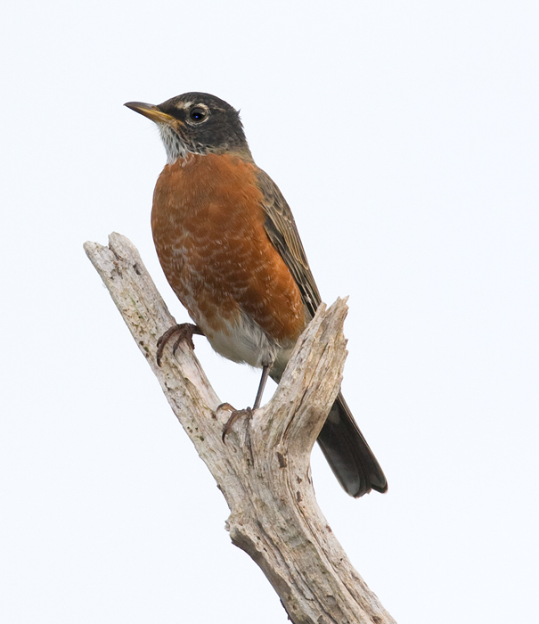 An American Robin poses on Assateague Island, Maryland (10/2/2009).