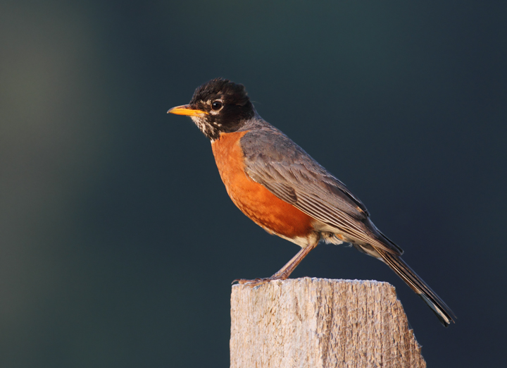 An American Robin at dusk in Queen Anne's Co., Maryland (6/19/2010). Photo by Bill Hubick.