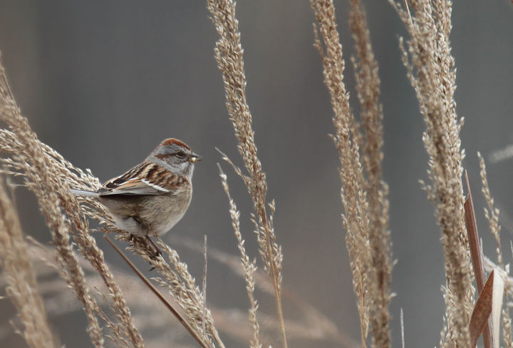 An American Tree Sparrow was a quality find on the Port Tobacco CBC in Charles Co., Maryland (12/18/2010). It is rare and local in the county, but seems to be annual on private farms around Allens Fresh. Photo by Bill Hubick.
