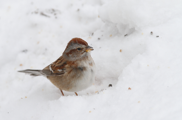An American Tree Sparrow visited our yard during the February blizzards (2/10/2010). This is the photo shoot during which I broke my bookshelf while trying to stand on it. Photo by Bill Hubick.