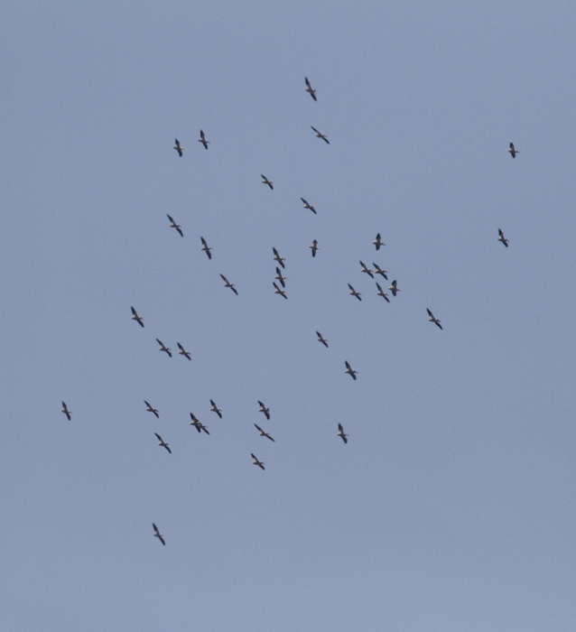 Documentation photo of 38 of the 40 American White Pelicans spotted by Mikey Lutmerding at Blackwater NWR, Dorchester Co., Maryland on 3/27/2010. The 40 birds observed on that date represent a new high count for Maryland. Quite a sight! Photo by Bill Hubick.