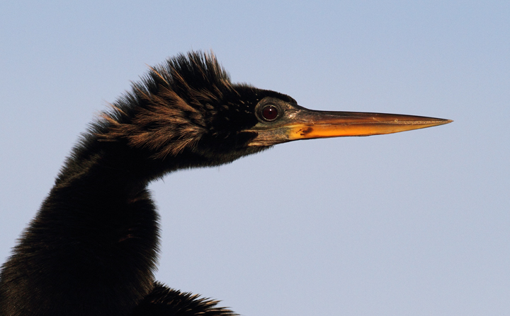 Anhingas posing for close-up portraits in the Everglades (2/26/2010). Photo by Bill Hubick.