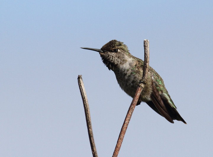 An Anna's Hummingbird in Portland, Oregon (9/4/2010). Photo by Bill Hubick.