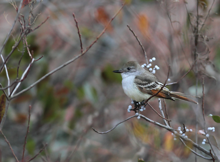 An Ash-throated Flycatcher continuing on Assateague Island, Maryland (12/5/2010). This rare western vagrant was found by Joe Hanfman on 11/27 and has been easily the most cooperative Ash-throated Flycatcher to date in Maryland. Photo by Bill Hubick.