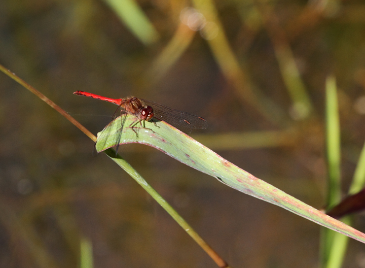 Today featured our first of season Autumn Meadowhawks (formerly Yellow-legged Meadowhawks), which is one of the more common late fall ode species in our area (Charles Co., 10/2/2010). Photo by Bill Hubick.