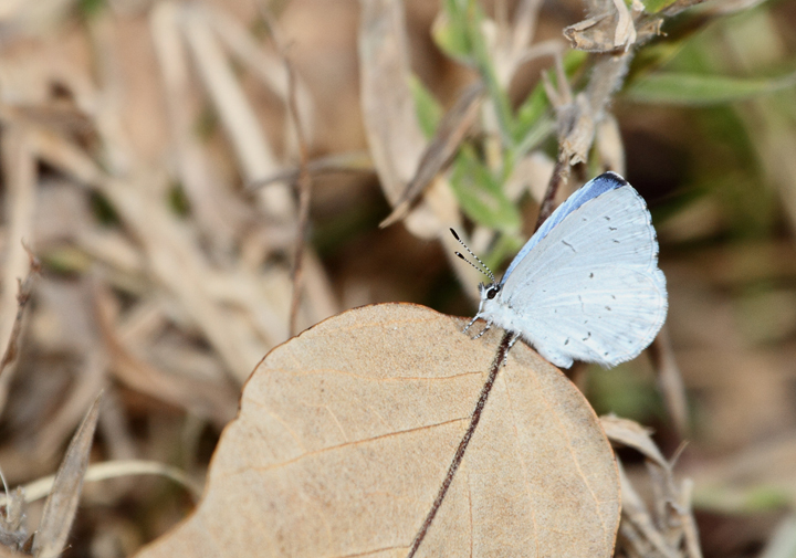 A late Azure in Caroline Co., Maryland (11/08/2009).