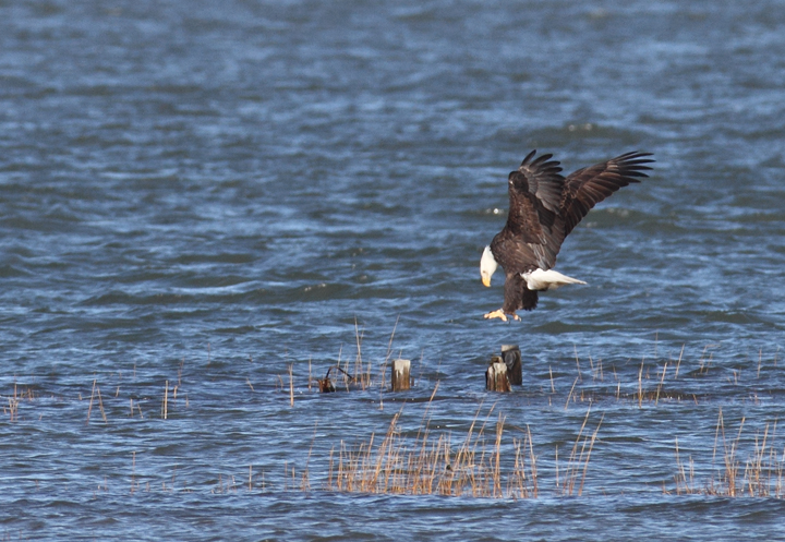 An adult Bald Eagle coming in for a landing on Sinepuxent Bay, Worcester Co., Maryland (11/13/2010). Photo by Bill Hubick.