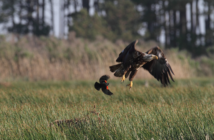 A Bald Eagle gets thoroughly harassed by a territorial Red-winged Blackbird (Dorchester Co., 5/8/2010). Photo by Bill Hubick.