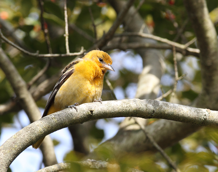 A lingering Baltimore Oriole near Rocks State Park, Harford Co., Maryland (12/11/2010). Photo by Bill Hubick.