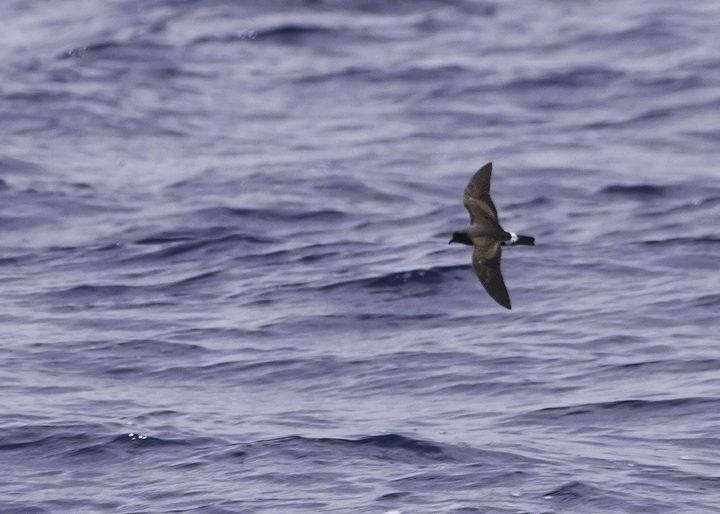 Another Band-rumped in fresh plumage, probably Madeiran Storm-Petrel, off Cape Hatteras, North Carolina (5/28/2011). Photo by Bill Hubick.